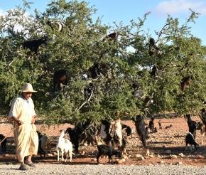 Козы на аргановых деревьях. Фото: наш турист Наталья Царева
