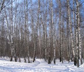 Зимние березы на маршруте