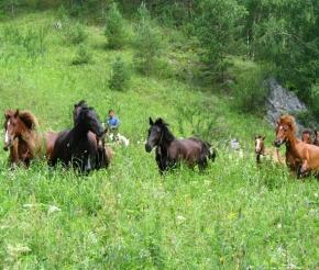 Алтайские лошади.