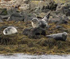 Лежбище морских котиков и тюленей