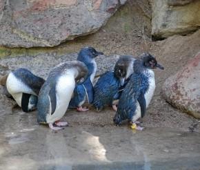 Пингвины в Оамару