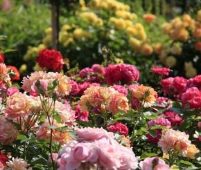 Никитский ботанический сад: розарий