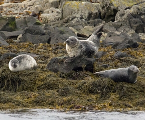 Лежбище тюленей и морских котиков