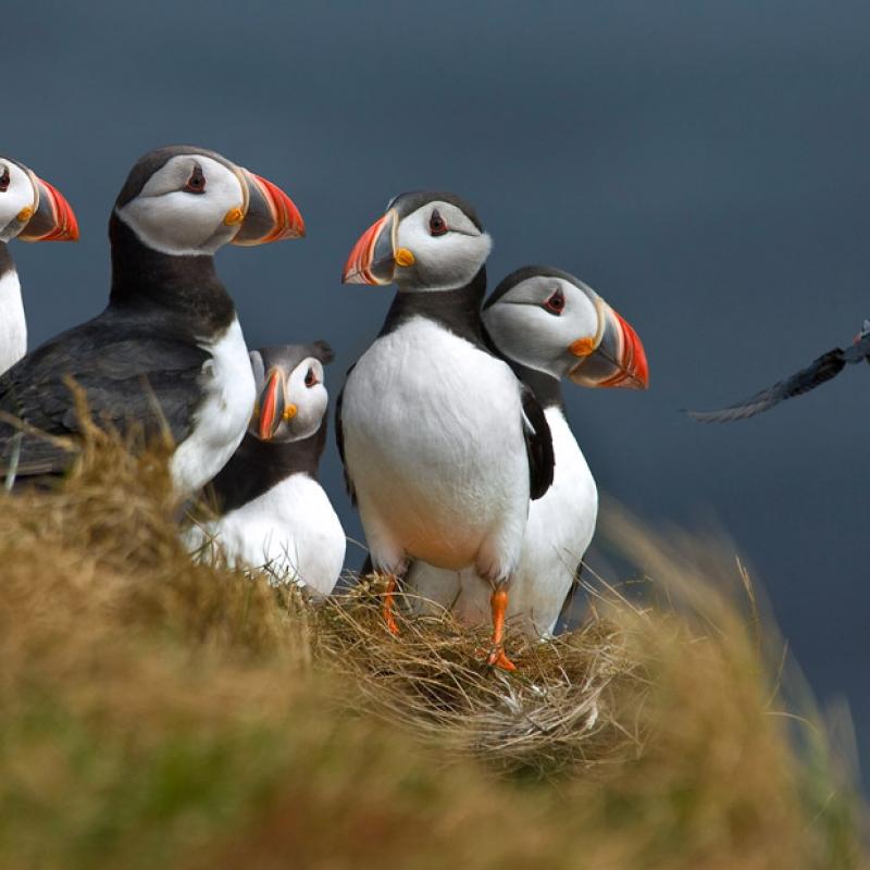 Тупики - символ Исландии
