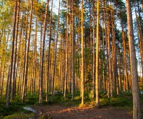 Карельский лес