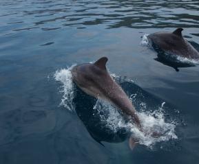 Дельфины Афалина- любопытные спутники морской прогулки