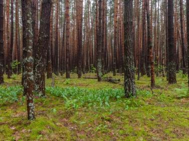 Треккинг в сосновом лесу